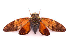 A cicadas back close-up. On white print paper Royalty Free Stock Photography