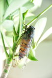 Cicada with the mouth suck SAP Royalty Free Stock Image