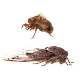 Cicadas and Nymphal Skin Isolated on White Stock Images