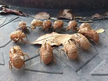 Bug Meeting. Cicadas shell exoskeleton leaf insect Royalty Free Stock Photography