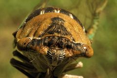 464 Cicada Head Frontal Macro royalty free stock images