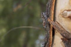 Cicade 免版税图库摄影