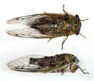 Cicade Royalty-vrije Stock Foto's