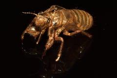 cicade Stock Afbeelding