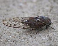 Cicade Cicadoidea in profiel die grote vleugels tonen Royalty-vrije Stock Foto's