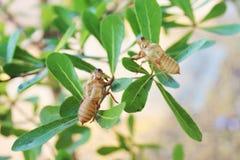 Cicade die in boom ruien molt stock afbeelding