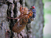 Cicade die uit Cacoon te voorschijn komen Stock Afbeelding