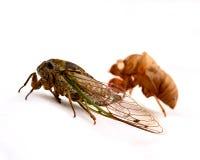 Cicade en het gieten Stock Afbeeldingen