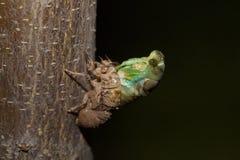 Cicade het te voorschijn komen Royalty-vrije Stock Afbeeldingen