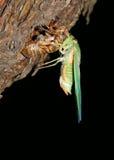 Cicade, insect gemeenschappelijk voor Australië Stock Afbeelding