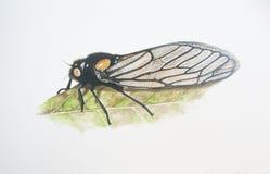 Cicade met een rode neus Stock Fotografie