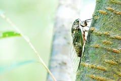 Cicade op boomboomstam stock afbeelding
