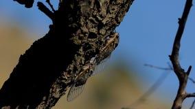 Cicade op de boom stock video