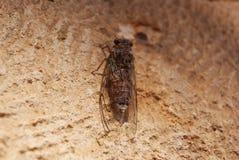 Cicade op een boom Royalty-vrije Stock Afbeeldingen