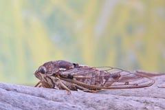 Cicade op een stuk van boomschors stock fotografie