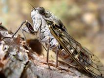 Cicade op een tak Royalty-vrije Stock Foto