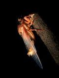 Cicade op zwarte achtergrond Stock Foto's