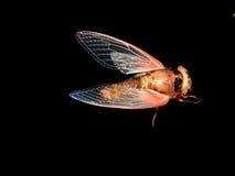 Cicade op zwarte achtergrond Stock Afbeeldingen