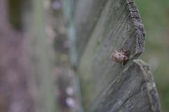 Cicade Shell On Wooden Fence stock afbeelding