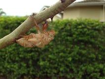 Cicadehuid in een boom Stock Foto's