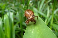 Cicadehuid of shell royalty-vrije stock afbeelding