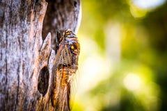 Cicadeinsect Cicadeinsect Cicadestok op boom bij het park van de Enorme muzikale capaciteiten van Thailand van cicade royalty-vrije stock fotografie