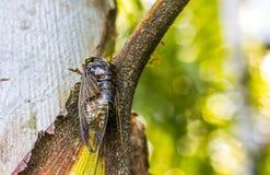 Cicadeinsect Cicadeinsect Cicadestok op boom bij het park van de Enorme muzikale capaciteiten van Thailand van cicade royalty-vrije stock foto's