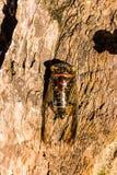 Cicadeinsect Cicadeinsect Cicadestok op boom bij het park van de Enorme muzikale capaciteiten van Thailand van cicade royalty-vrije stock foto