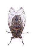 Cicadeinsect dat op witte achtergrond wordt geïsoleerd Stock Fotografie