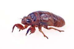 Cicadelarve royalty-vrije stock afbeelding