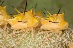 Cicadelarven onder hoge vergroting Stock Foto