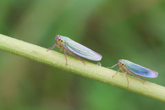 Cicadella viridis Royalty Free Stock Photos