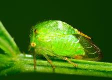 Cicadelle photographie stock