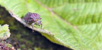 Cicadellide variopinto sulla foglia verde Fotografia Stock Libera da Diritti