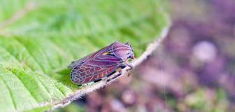 Cicadellide variopinto sulla foglia verde Immagini Stock Libere da Diritti