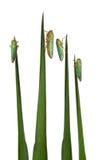 Cicadellidi verdi su una lamierina dell'erba Fotografie Stock
