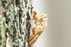 Cicademoulting op bomen, perfecte voorwaarde royalty-vrije stock foto's