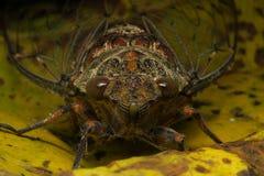 cicaden Stock Afbeelding