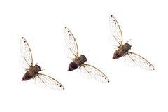 Cicaden in een rij Royalty-vrije Stock Foto's