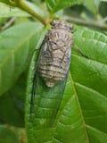 Cicaden van Costa Rica royalty-vrije stock afbeelding