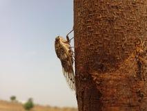 Cicadetussenvoegsel Royalty-vrije Stock Afbeelding