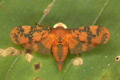 Cicadezitting op een palmblad Royalty-vrije Stock Foto's