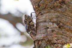 Cicadia On Acacia Tree Bark. Cicadia on an Acacia tree in Olare Orok Conservancy, bordering Masai Mara, Kenya, where it will insert its proboscis to feed on the stock photos