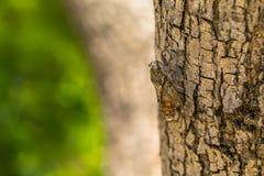 Cicadidae sulla corteccia dell'albero fotografie stock