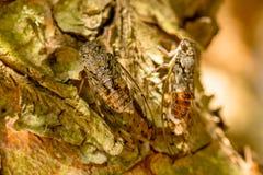 Cicadidaes na casca da árvore foto de stock royalty free