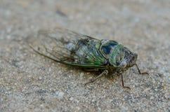 Cicado on sidewalk three quarter view. A blue and green cicada on a sidewalk Stock Images