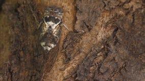Cicadoidea-Insekt Biologie Eukaryota-Animalia-Gliederfüßer Tracheata Hexapoda Insecta Insecta Reisendes Konzept stock video