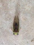 cicala Immagine Stock Libera da Diritti