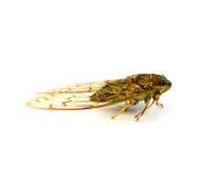 cicala Fotografie Stock