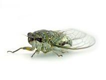 cicala Immagini Stock Libere da Diritti